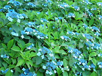 탐라산수국(Hydrangea serrata for. fertiils)
